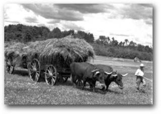 Haying Moulton Farm Oxen